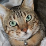 A warm welcome to Tyson the Bengal